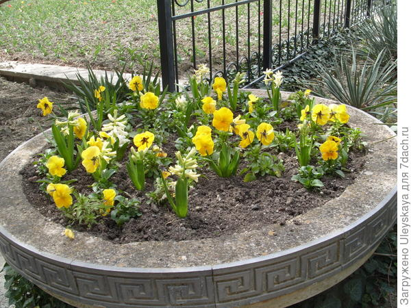 Фиалка Виттрока с гиацинтами в широкой садовой вазе
