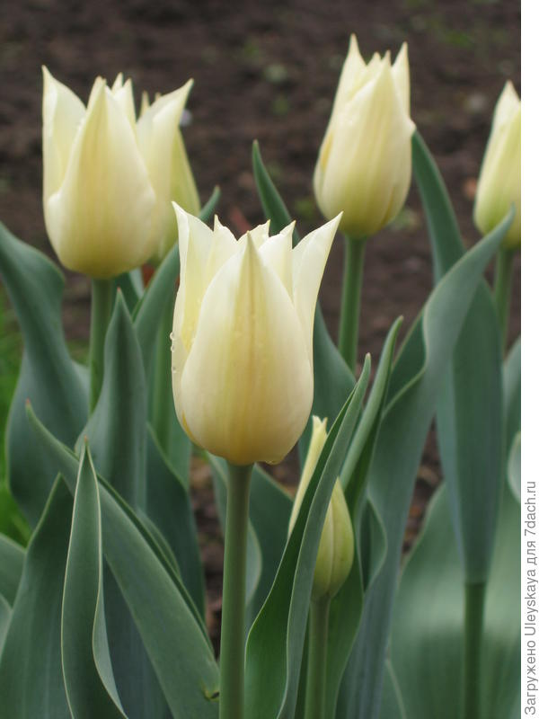 Совершенство цветка лилиецветных тюльпанов