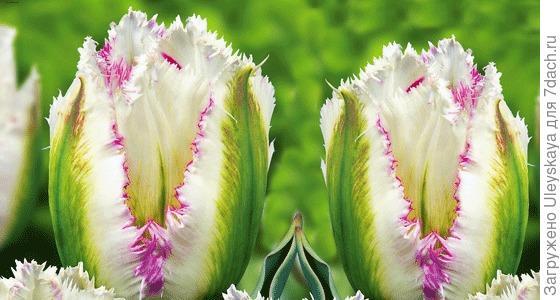 Тюльпан сорт Snow Valley