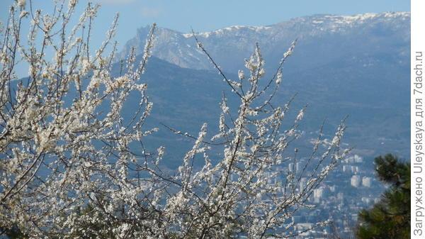 Алыча цветет на фоне Ай_Петри
