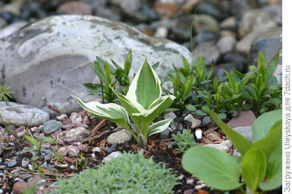 Хосты хорошо растут в рокариях на плодородных почвах