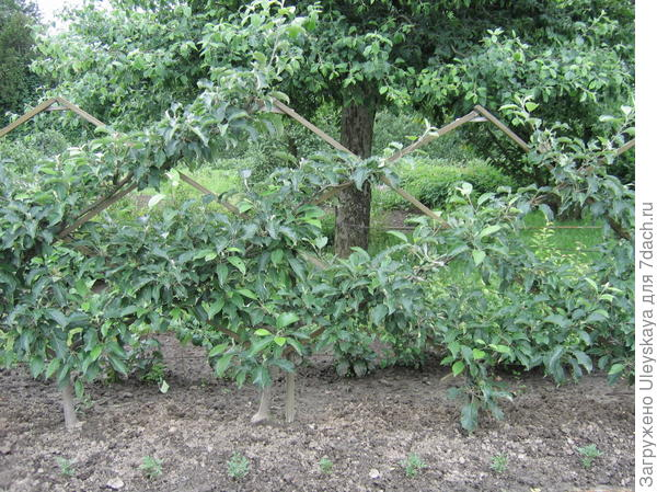 Плодовая шпалера в ботаническом саду в Киеве