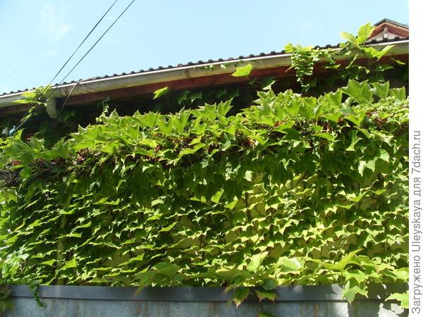 Зеленая вертикаль каменного ограждения из девичьего винограда триостренного