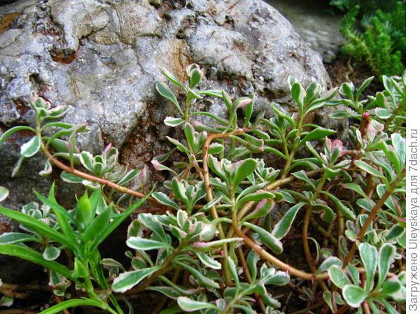 Рядом с химически неагрессивными камнями растения выглядят шикарно