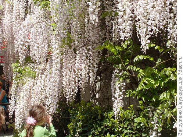 Цветет глициния китайская сорт Schiro Noda