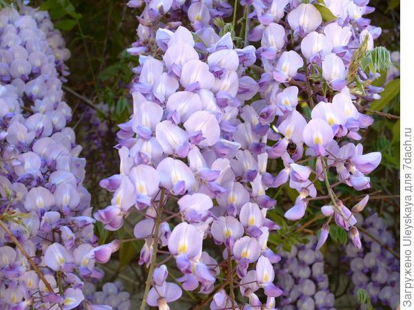 Цветет глициния китайская крупноцветковая
