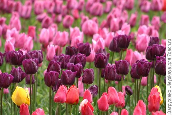 Цветут Простые Поздние тюльпаны
