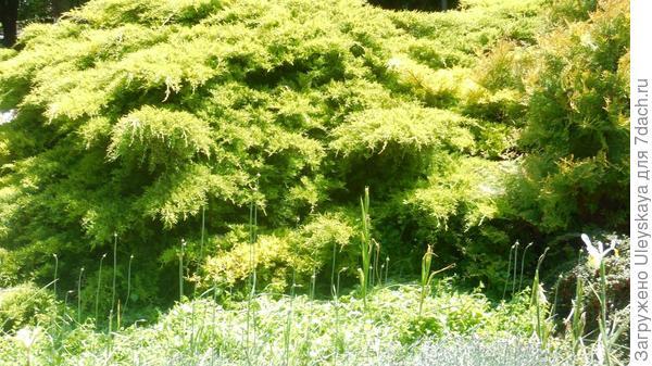 Можжевельник китайский с приподнимающимися ветвями нуждается в пространстве для равномерного роста