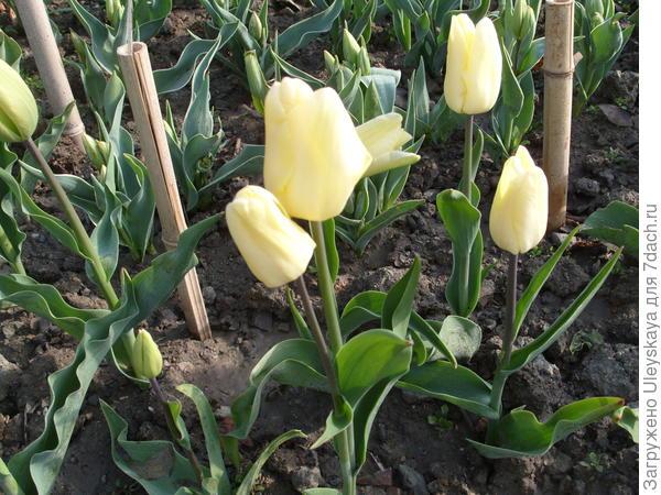Тюльпан сорт Hans Dietrich Genscher