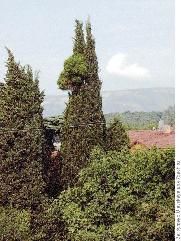Кипарисовая лама