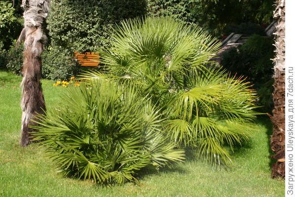 Экзотическая форма кустарниковой пальмы  хамеропса низкого смотрится на газоне весьма эффектно