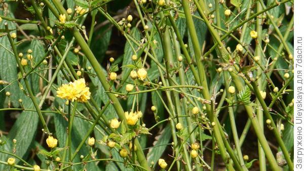 Цветки керрии японской махровоцветковой изысканно смотрятся в сплетении побегов
