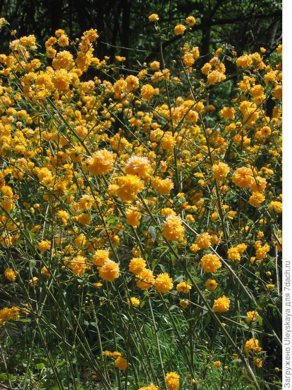 Цветет керрия японская махроцветковая