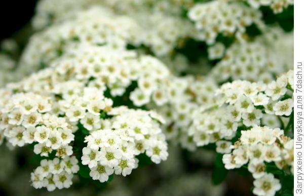 Цветет спирея дубравколистная. Фото А. Папкова