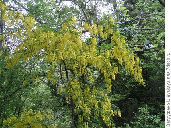 Бобовник своим золотистым цветением преображает все вокруг