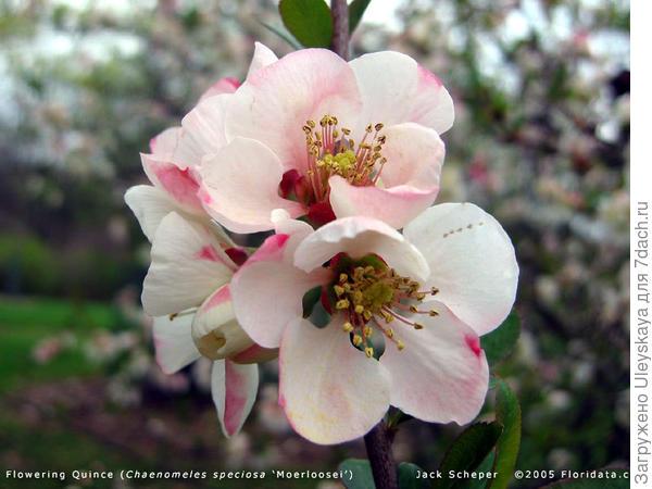 Хеномелес прекрасный сорт Apple Blossom