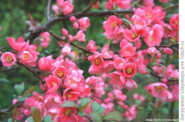 Хеномелес превосходный сорт Pink Lady