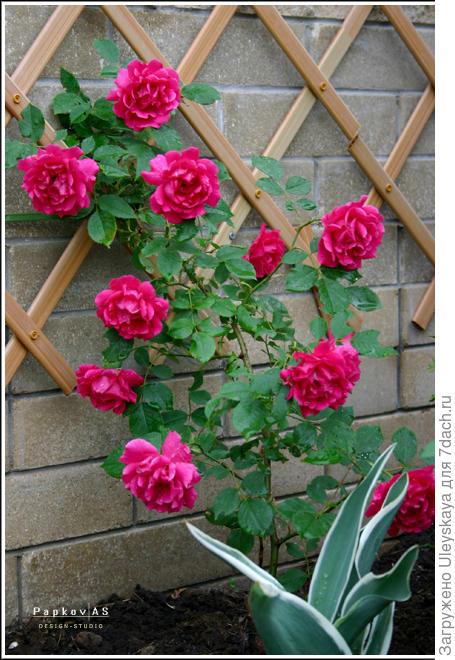 Плетистая роза на стене с использованием декоративной решетки