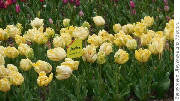 Тюльпан сорт-новинка Blondine