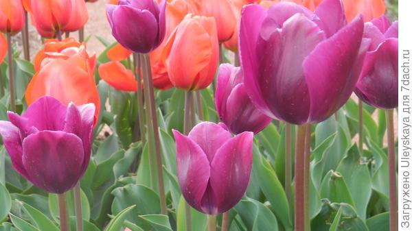 Тюльпан сорт Demeter