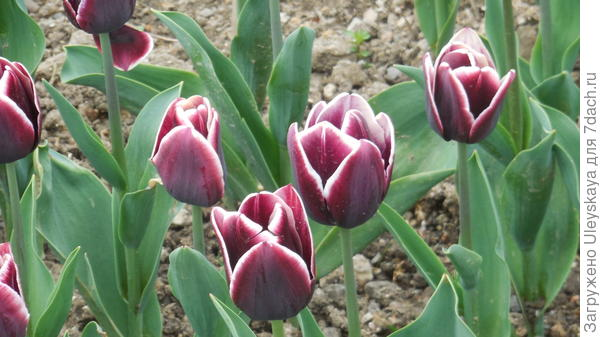 Тюльпан сорт Alexander Pushkin