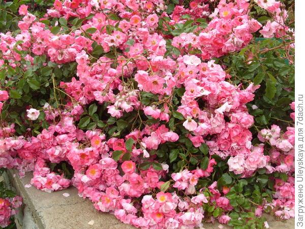 Почвопокровная роза сорт Fair Play