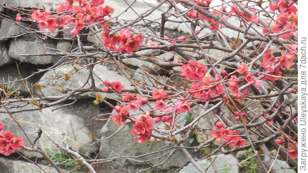 Цветет хеномелес японский