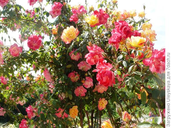 Крупноцветковая плетистая роза сорт Полька-Бабочка