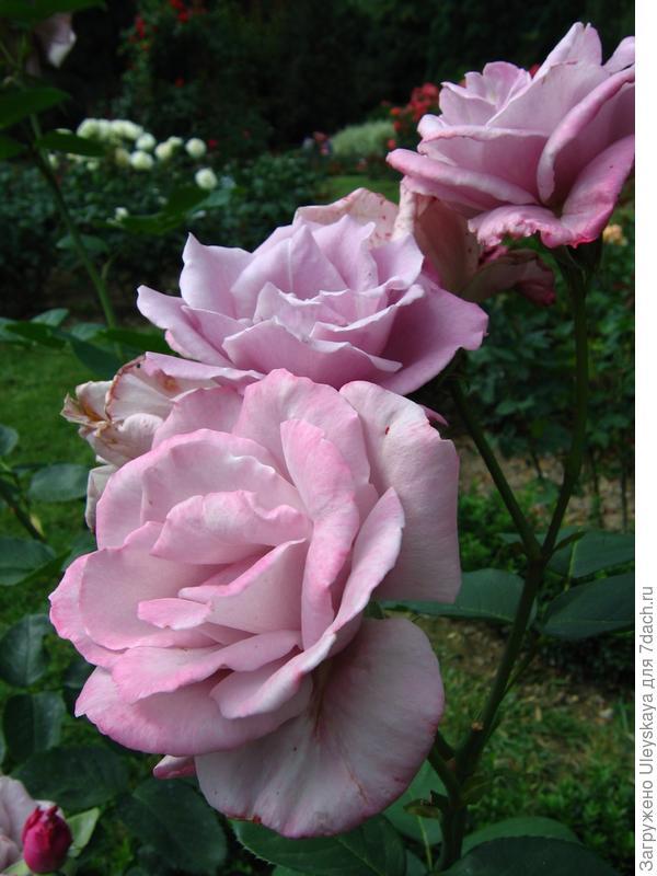 Не голубая, но с божественным ароматом роза сорт Blue Nile