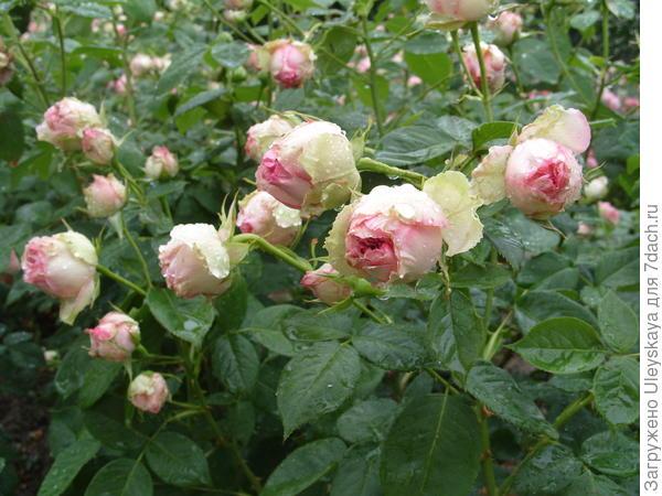 Полуплетистая роза сорт Джим