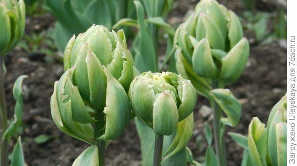 Тюльпан сорт Brooclyn