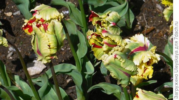 Тюльпан сорт Flaming Parrot