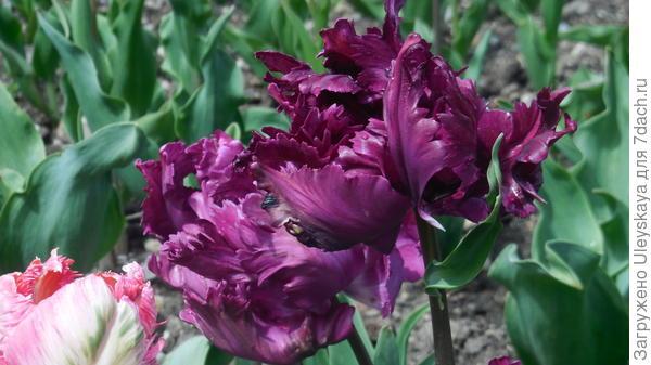 Тюльпан сорт Negrita Parrot