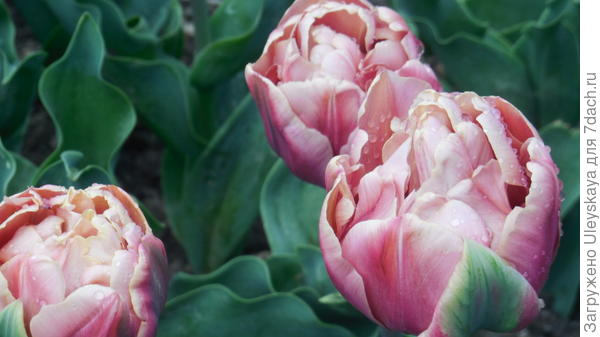 Тюльпан сорт La Bell