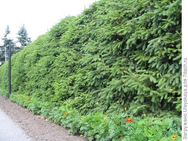 Живая изгородь из ели обыкновенной, фото сайта vamzabor.net