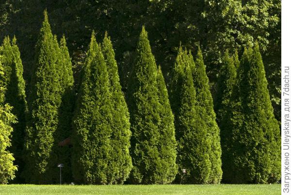 Туя западная Smaragd, фото сайта www.udec.ru