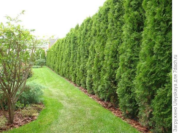 Хвойная живая изгородь, фото сайта vk.com