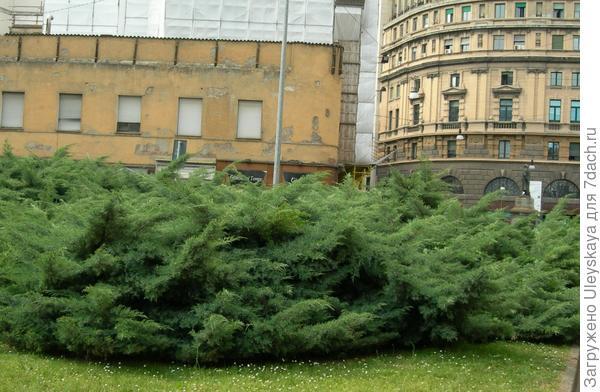 Широкий бордюр из можжевельника казацкого, фото сайта www.zgorod-nn.ru