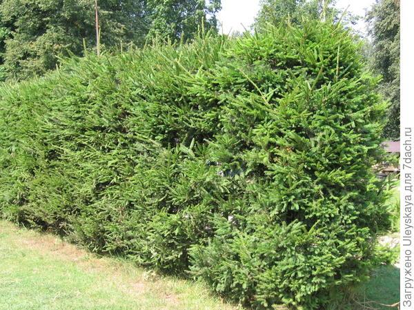 Живая изгородь, фото сайта www.muratordom.com.ua