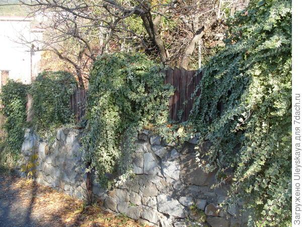 На заборе плющ обыкновенный сорт Adam.