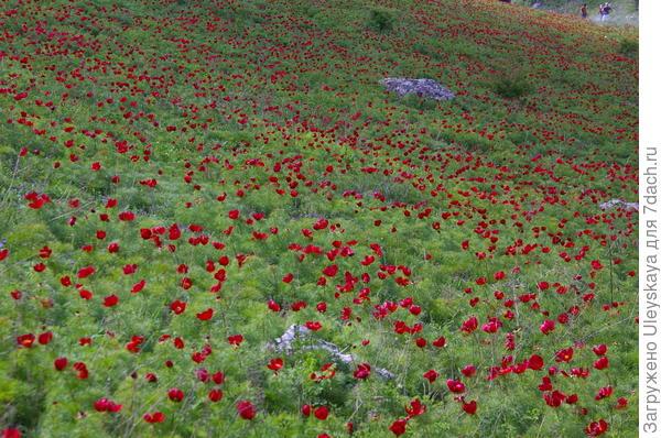 Осторожно: цветет пион тонколистный!
