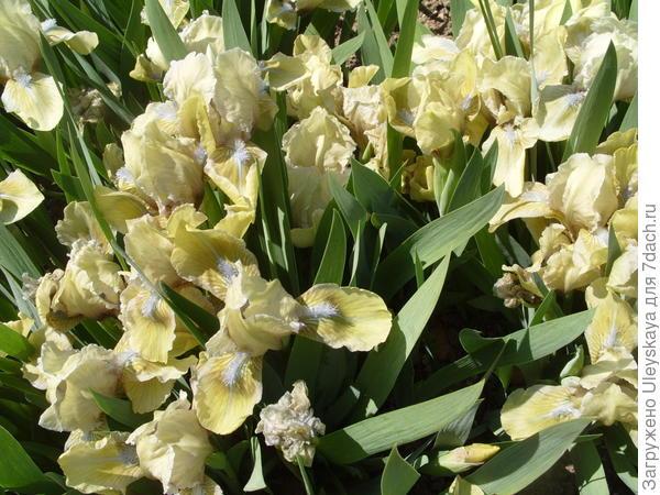 Ирис бородатый карликовый сорт Iris Seas