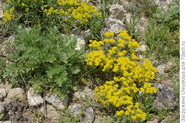 Желтое растение sp1