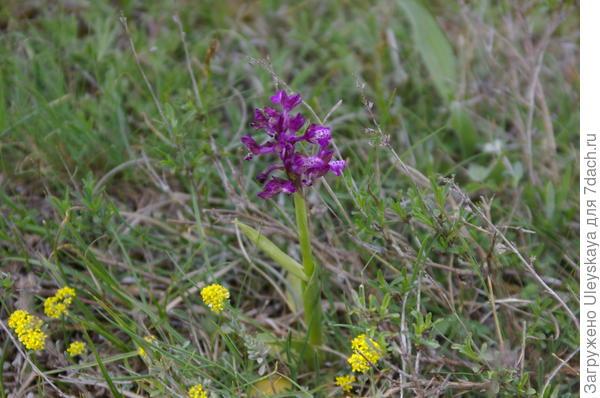 Орхидея на плато Ак-Кая