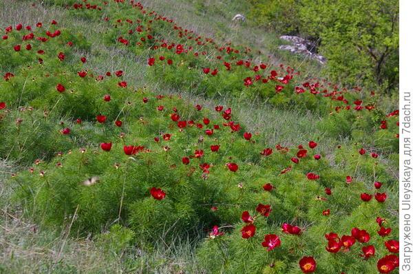 Фейерверк цветения пиона тонколистного