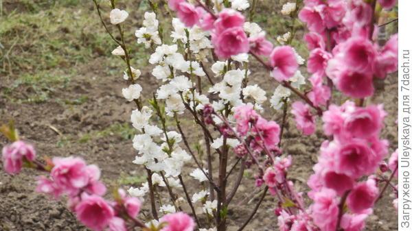 Пилар формы декоративного персика
