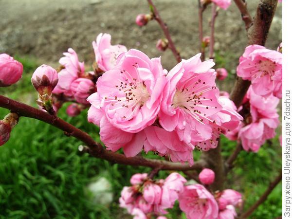 Цветет декоративный персик