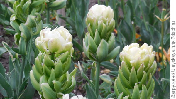 Тюльпан сорт Brooklyn в цветении