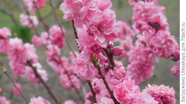 Декоративный персик с полумахровыми цветками