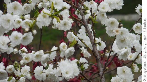 Декоративный персик с махровыми цветками